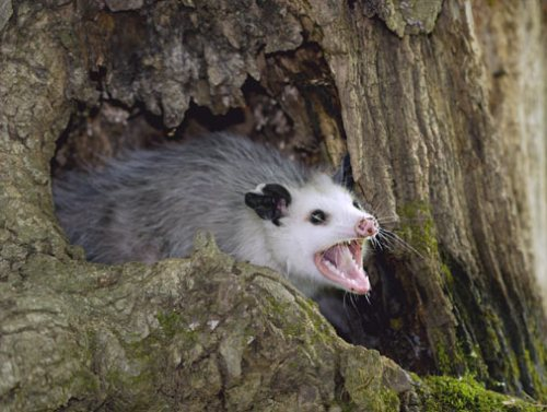 evol-opossum-l